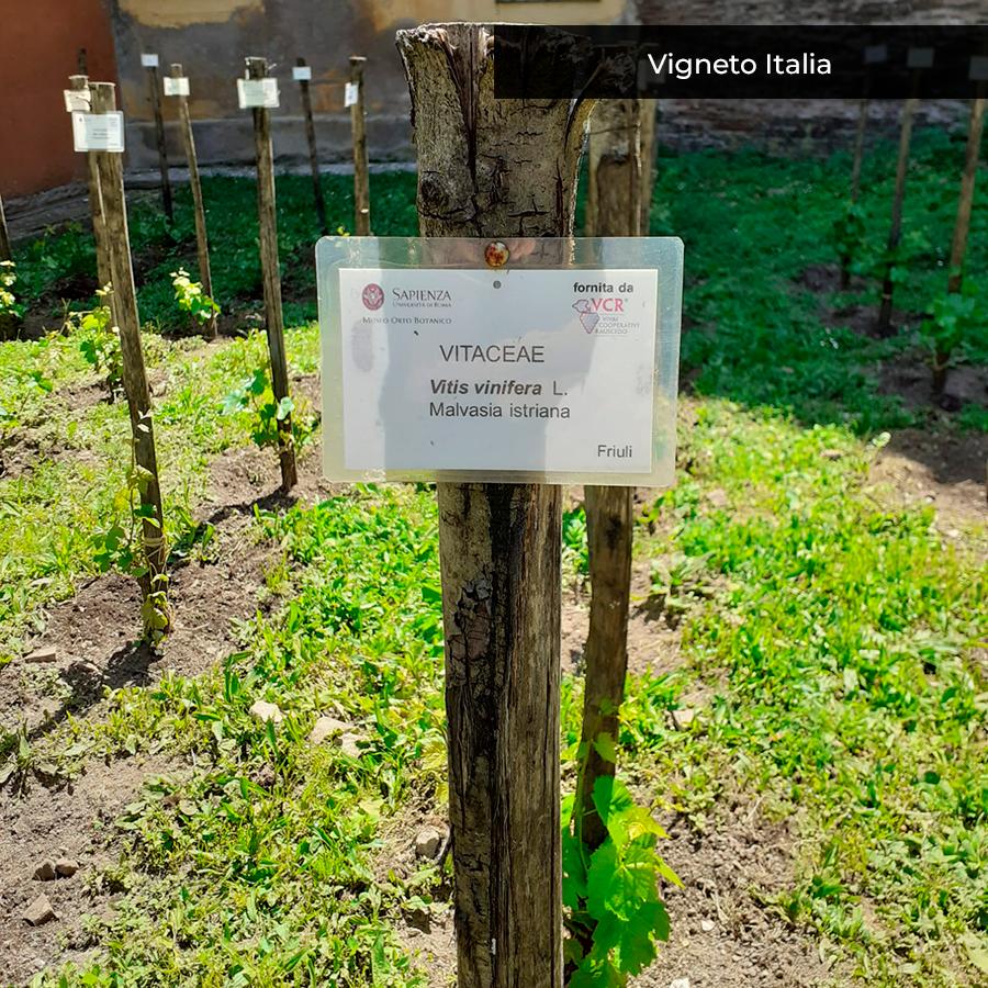 Vigneto Italia